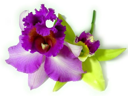 purple orchid: Green and purple orchid together close up Stock Photo
