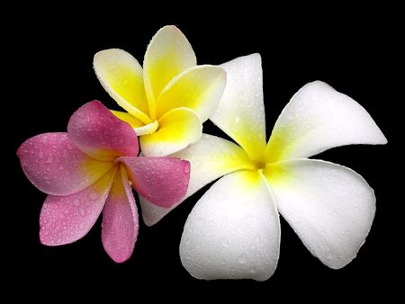 Plumeria (Frangipani) Flower 3 Color Stock Photo - 532691