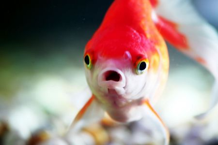 pices: Goldfish 1