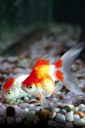 pices: Goldfish 2