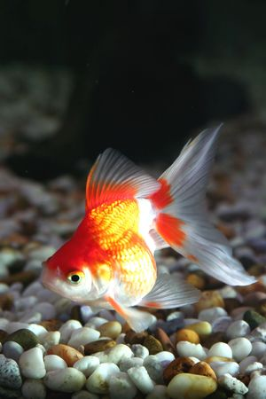 pices: Goldfish 3
