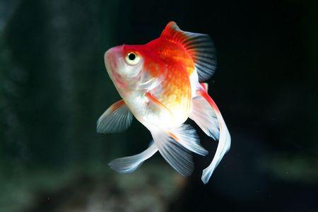 buble: Goldfish 4