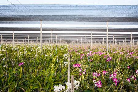 orchidaceae: orchid farm