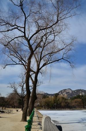 albero secco: albero secco in inverno vicino vicino al palazzo Gyeongbok