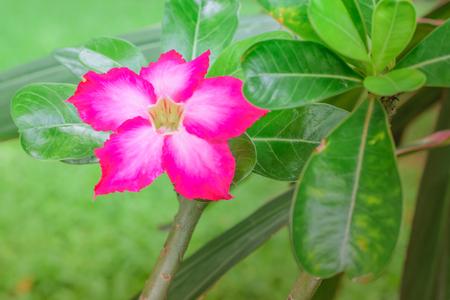 close up Adenium flower of Desert Rose Stock Photo