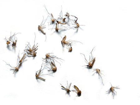 Les moustiques morts sur blanc