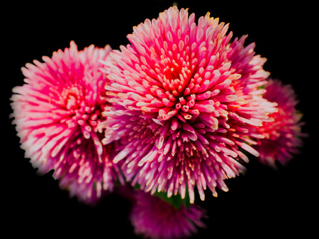 thorny: A thorny bush of pink flowers. Abstact in black background.