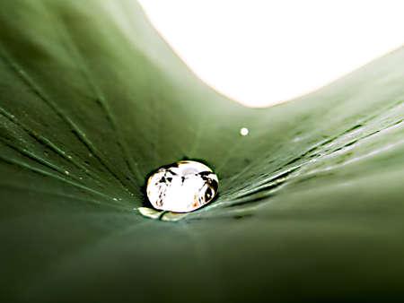 lotus effect: Drops of water, rolling water on a lotus leaf. (LOTUS EFFECT)