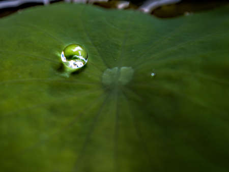 lotus effect: Drops of water, rolling water on a lotus leaf.  (LOTUS EFFECT) Stock Photo