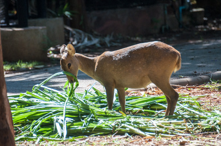 Deer that were fed freely Zoo in Thailand Not in a cage.