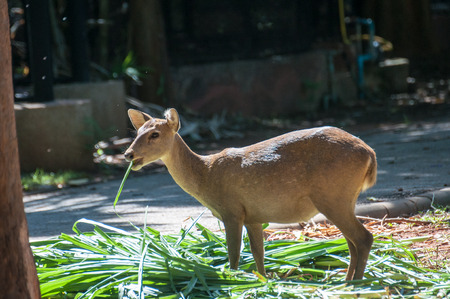 freely: Deer that were fed freely Zoo in Thailand Not in a cage.