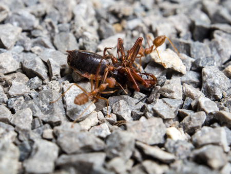 swarm: Red Ant insect swarm of fight fiercely. Stock Photo