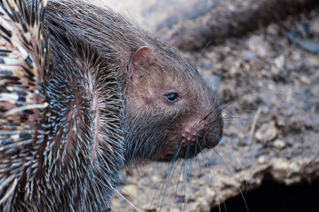 nakhon: The Hedgehog hairs are long pointed to food. Zoo in in Nakhon Ratchasima, Thailand Stock Photo