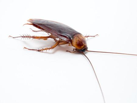 molesto: Cucarachas pequeños animales distraer a un molestos causas de la enfermedad. Aislar sobre fondo blanco.