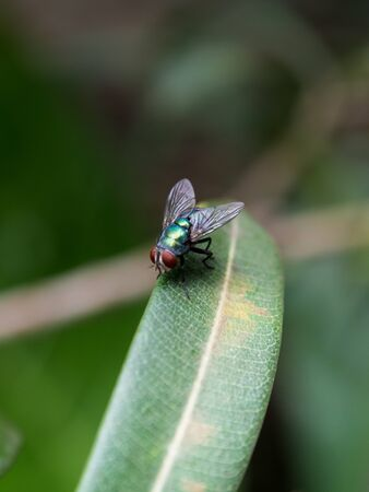 Red eyes, green body the flies on a leaf in the garden.