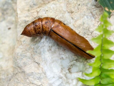 hyles gallii: Chrysalis Butterfly lying on the white stone.