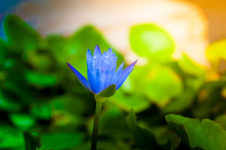 The lotus is blooming in the basin of water, terra cotta sunshine morning light. Close-up shoot.