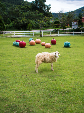 Fluffy sheep, cute sheep farm pet resort tourists. To tourists Can be fed manually. 免版税图像 - 117462140
