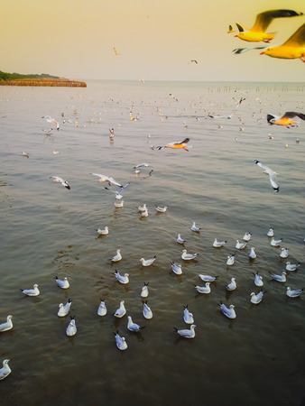 Seagulls fly in a flock, to escape the cold of the North Sea to get warm in the winter of Asia's mangroves, sea mud evening sun near fall.