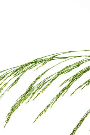 wheat ear Stock Photo - 5102615