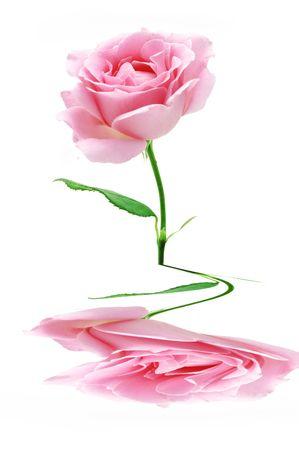 pink rose Stock Photo - 5102731