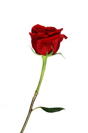 rose Stock Photo - 5171344
