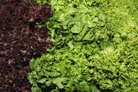 escarole: lettuce