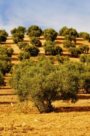marcos: olive trees Stock Photo
