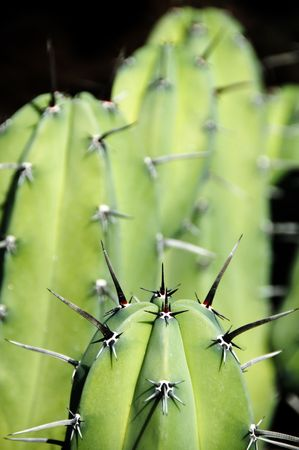 prickly pears close-up in lanzarote in spain photo