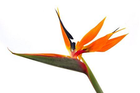 bird of paradise flower:  isolated bird of paradise on a white background Stock Photo