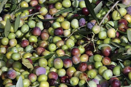 collection of green olive trees in crop fields photo