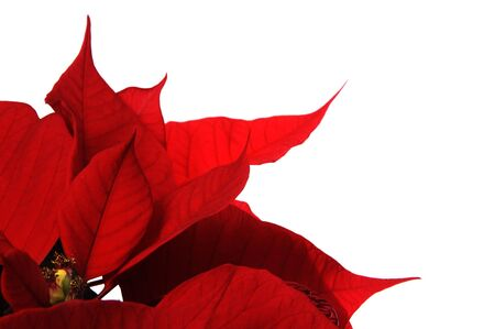 poinsettia: red poinsettia flowers on the white background
