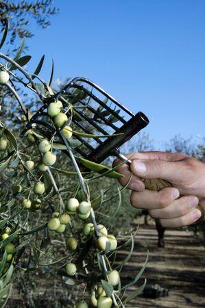 foglie ulivo: raccolta di verde di olivi in campi di coltura