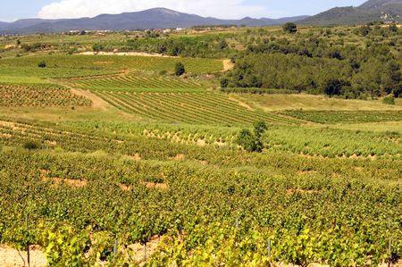 Montferri vineyards of Tarragona in Spain Stock Photo - 6416922