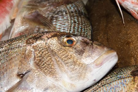 gilthead bream: a lot of Gilt-head bream ready for sale