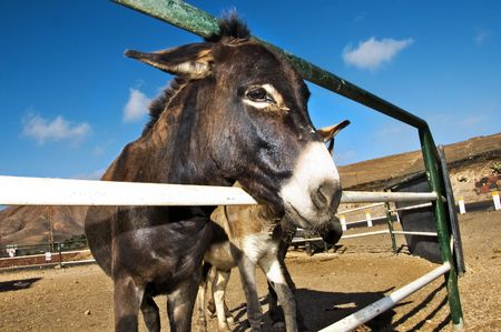 closeup of a donkey on a farm on the blue sky Stock Photo - 6474541