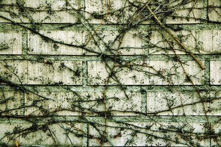 crack climbing: background made of a climbing plant in a wall