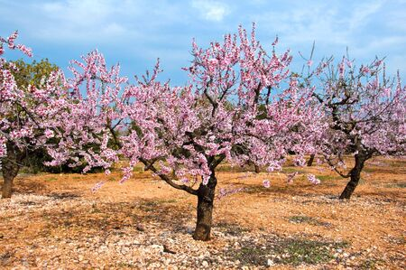 blooming: a field of blossoming almond trees in full bloom