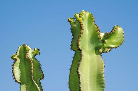 close up of an Euphorbia ingens cactus in the blue sky photo