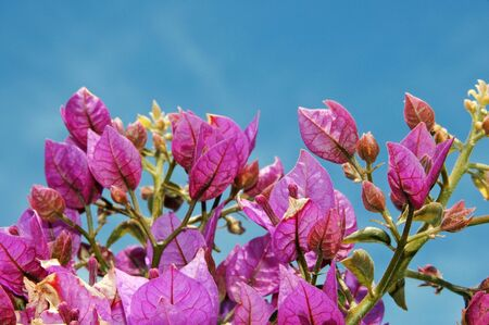 a branch of Bougainville with flowers photo