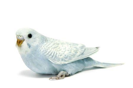 perico: una cr�a de perico azul aislada en un fondo blanco
