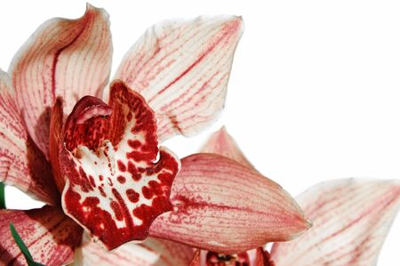 closeup of an orchid isolated on a white background photo
