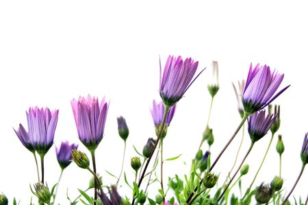 sylvan: some purple wildflowers isolated on a white background