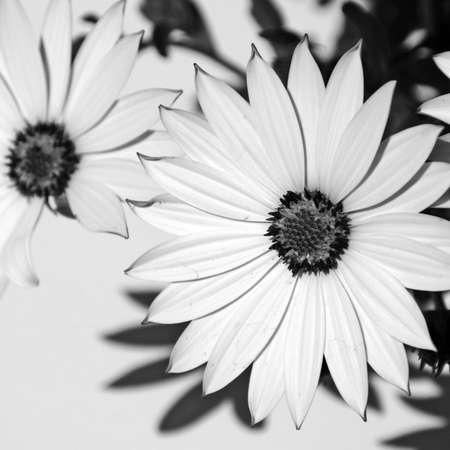 close up of some wild daisies in black and white photo