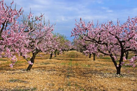 flowering in plants: a field of blossoming almond trees in full bloom
