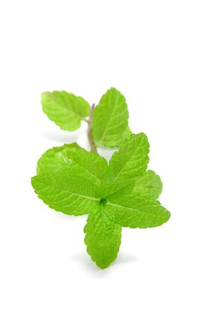 a mint branch isolated on a white background Stock Photo - 6952685