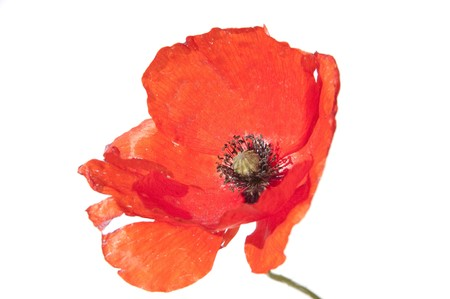 poppies: close up of a wild poppy isolated on a white background Stock Photo
