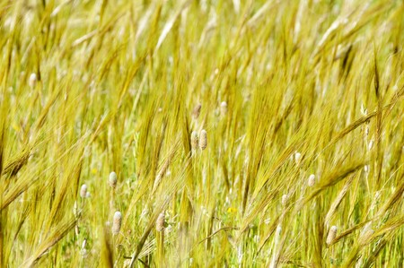 landscape of grass spikes moved by the wind Stock Photo - 7008692