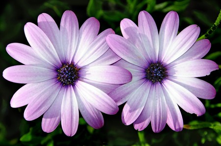 close up of few pink wild daisies photo
