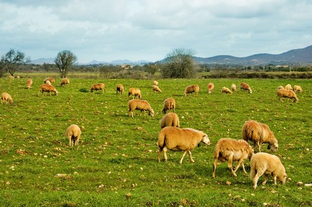 many sheep grazing in a green meadow farm Stock Photo - 7242385
